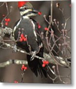 Pileated Woodpecker Lunch Metal Print