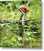Pileated Woodpecker On The Ground No. 1 Metal Print