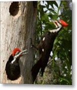 Pileated Woodpecker Ready To Fledge Metal Print