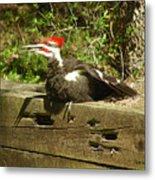 Pileated Woodpecker1 Metal Print
