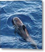 Pilot Whale 2 Metal Print