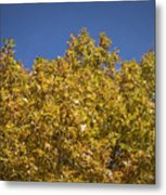 Pin Oaks In The Fall No 2 Metal Print