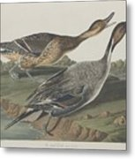 Pin-tailed Duck Metal Print