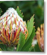 Pincushion Protea Metal Print