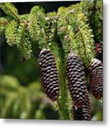 Pine Cones On The Bough Metal Print