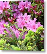 Pine Conifer Pink Azaleas 30 Summer Azalea Flowers Giclee Art Prints Baslee Troutman Metal Print