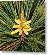 Pine In Bloom Metal Print