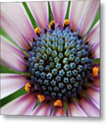 Pink African Daisy Detail Metal Print