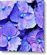 Pink And Blue Hydrangea 4 Metal Print