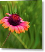 Pink And Orange Wild Daisy Metal Print