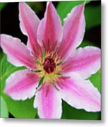 Pink And White Clematis Metal Print