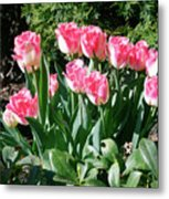 Pink And White Fringed Tulips Metal Print