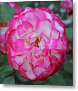 Pink And White Rose Square Metal Print