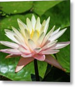 Pink And White Water Lily Metal Print