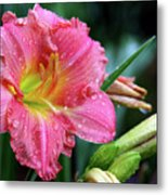 Pink And Yellow Lily After Rain Metal Print