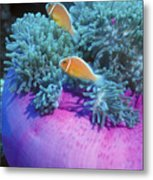Pink Anemonefish Protect Their Purple Metal Print by Michael Wood