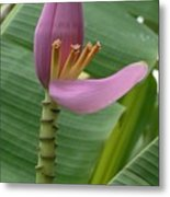 Pink Banana Flower Metal Print
