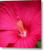 Pink Bloomers Metal Print