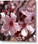 Pink Blossoms 033014c Metal Print