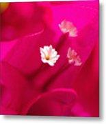 Pink Bougainvillaea Metal Print