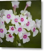 Pink Bright Eyes Garden Phlox Metal Print