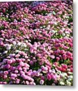 Pink Button Pom Flowers Metal Print