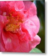 Pink Camelia Closeup Metal Print