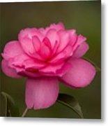 Pink Camellia 3 Metal Print