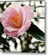 Pink Camellia With Raindrops Metal Print