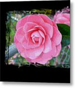 Pink Camellias With Fence And Framing Metal Print