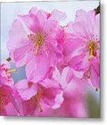 Pink Cherry Blossom Cluster Metal Print