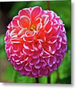 Pink Dahlia In Golden Gate Park In San Francisco, California  Metal Print