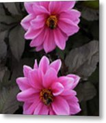 Pink Dahlias With Bees Metal Print