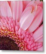 Pink Daisy Close-up Metal Print