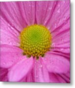 Pink Daisy With Raindrops Metal Print