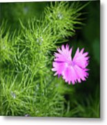 Pink Dianthus With Nigella Buds Metal Print