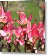 Pink Dogwood Blossoms Metal Print