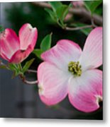 Pink Dogwood In The Morning Light Metal Print