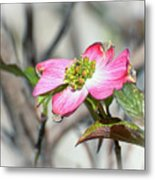 Pink Dogwood Metal Print by Kerri Farley