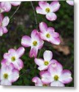 Pink Dogwood Mo Bot Garden Dsc01756 Metal Print