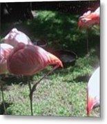 Pink Flamingos Resting Metal Print
