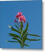 Pink Florida Oleander Blossom Metal Print