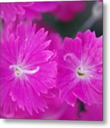 Pink Flower Closeup Metal Print