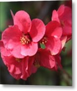 Pink Flowering Quince Metal Print