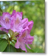 Pink Flowering Rhododendron Bush In Full Bloom Metal Print
