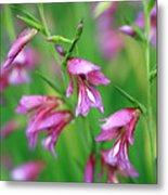 Pink Flowers Of Gladiolus Communis Metal Print