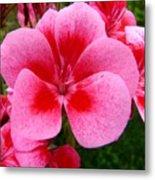 Pink Geranium Blossom Metal Print