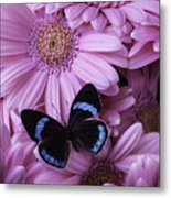 Pink Gerbera Daises And Butterfly Metal Print