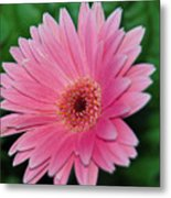 Pink Gerbera Delight Metal Print
