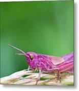 Pink Grasshopper Metal Print